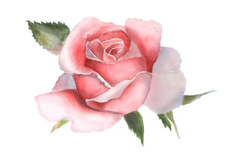 Watercolor pink rose isolated on white background. Handmade drawing.