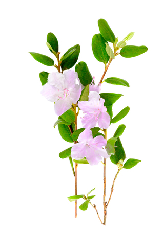 palustre: Purple rhododendron flowers Labrador tea or ledum isolated on white background. Close up.