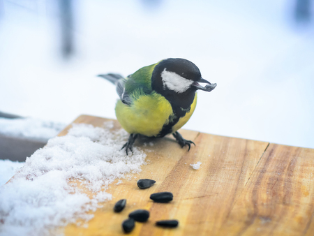 Chickadee eats sunflower seeds in the feeder in cold winter
