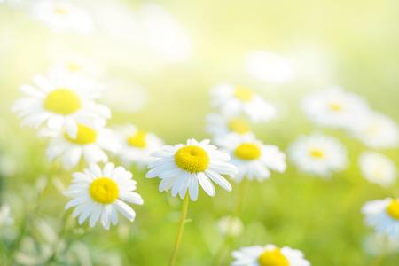 Spring daisies in a field. Standard-Bild