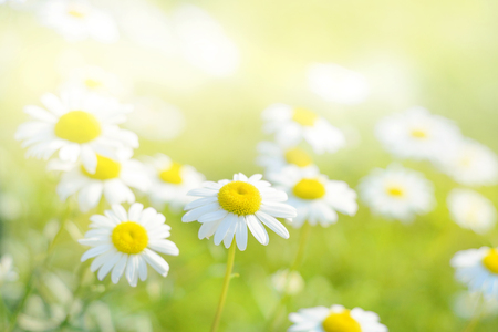 Spring daisies in a field. Stock Photo