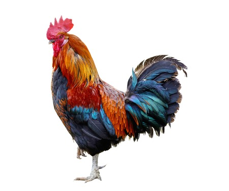 Rooster isolated on white background Stock Photo