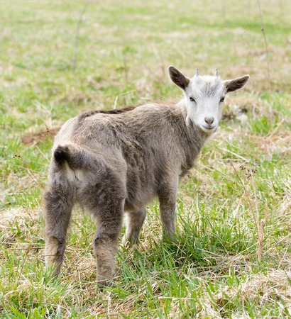 he goat: Young goat is grazing on a lawn