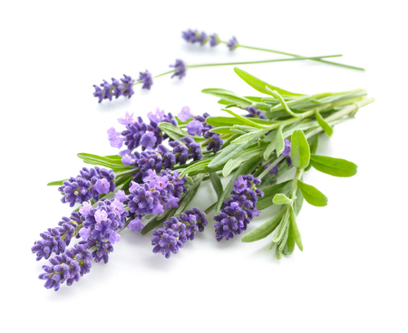 Lavender bunch on a white 스톡 콘텐츠