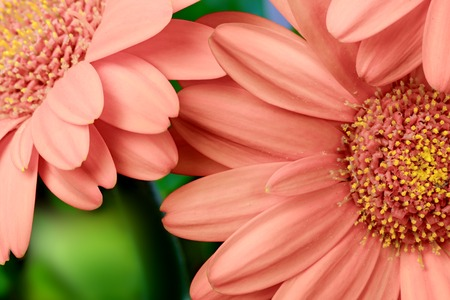 Gerbera flowers of coral apricot color background