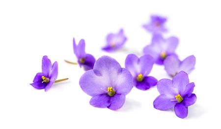 Violettes sur fond blanc.