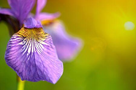 Close-up growing iris flower background Banco de Imagens