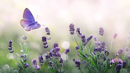 Purple blossoming Lavender and flying butterfly in nature. Banco de Imagens