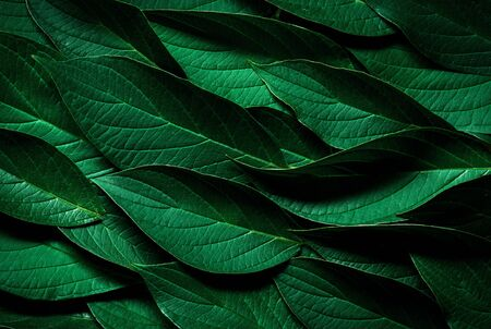 Dark Green leaves texture. Banco de Imagens