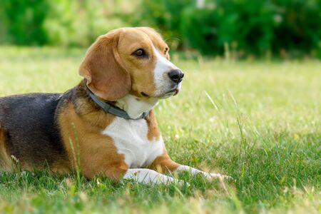 Beagle dog lying on the green grass.