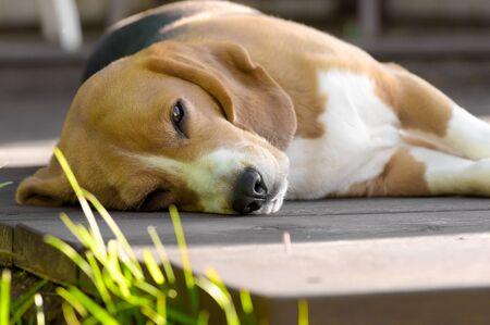 Beagle dog lying and dozing on wooden deck
