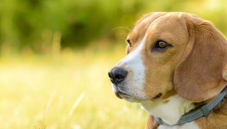 Beagle dog portrait outdoors