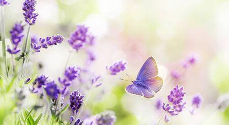 Bloeiende lavendel en vlinder zomer achtergrond Stockfoto