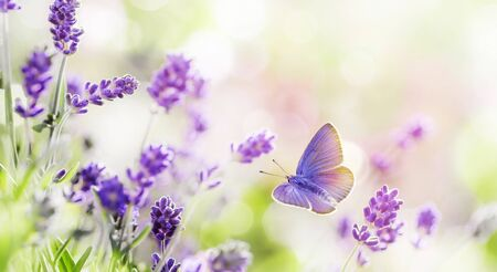 Blossoming Lavender and butterfly summer background 스톡 콘텐츠