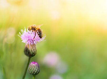 Close-up Bee collect nectar from flowers in a summer meadow. Banco de Imagens