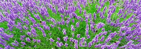 Blossoming Lavender flowers background