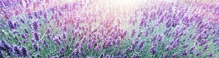 Purple Lavender in flower field background