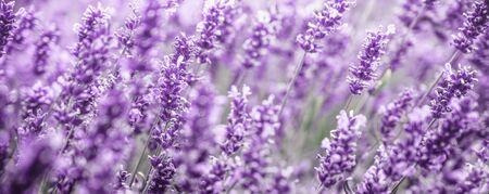Purple Lavender flowers background