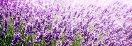 Purple Lavender in flower field panoramic view Banco de Imagens