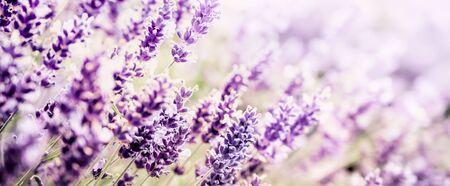 Violet Lavender flowers background Banco de Imagens