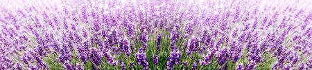 Purple Lavender in flower field wide panoramic view