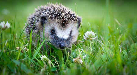 Cute hedgehog on a green grass
