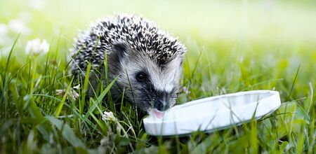 Hedgehog drinking milk from a white plate on green grass.