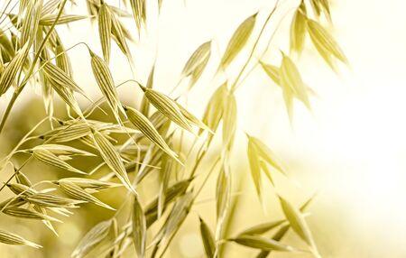 Spikelets of oats, growing oats field Banco de Imagens