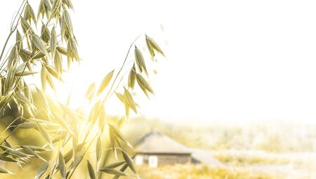 Spikelets of oats on a village house background