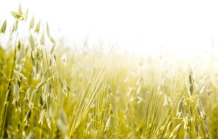 Growing oats and barley field Banco de Imagens