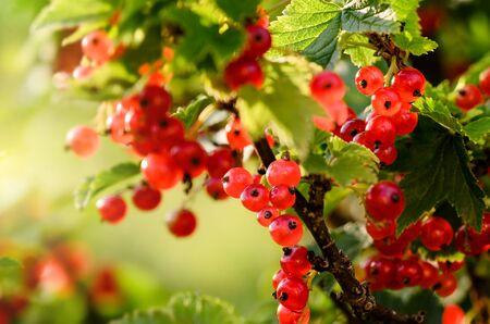 Red Currant berries on a bush Banco de Imagens