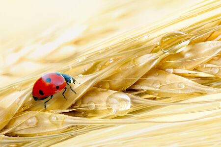 Ripe barley ears with dew droplets and ladybug