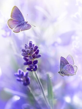 Close-up Lavender flowers and flying butterflies