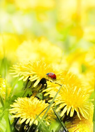 Ladybug on yellow flowers summer background
