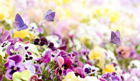 Colorful summer background from flower pansy and flying butterflies. Zdjęcie Seryjne