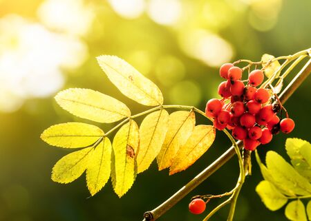 Autumn rowan tree with red berries and yellow leaves Stockfoto
