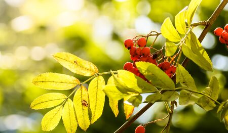 Autumn rowan berries and yellow leaves with nice bokeh