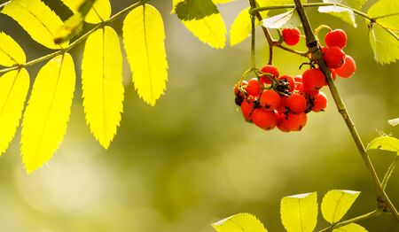 Autumn rowan berries and yellow leaves Stock fotó - 129176942