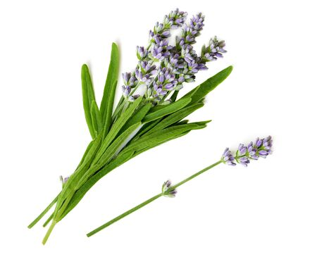 Fresh Lavender flowers bunch on a white