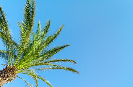Green Palm Tree against a clear blue sky. Фото со стока