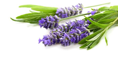 Beautiful Lavender flowers bunch on a white 版權商用圖片