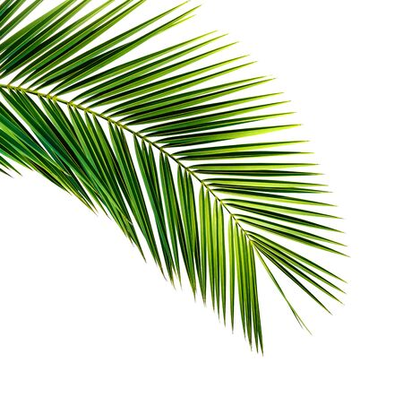 Green leaf of coconut palm tree isolated on white background