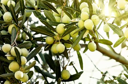 Organic Olives growing on the olive tree.