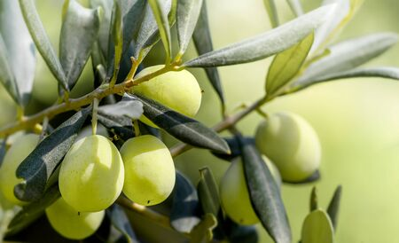 Green Olives growing on the olive tree. Raw healthy olive fruits on a tree branch. Greece olives. 版權商用圖片 - 131598288