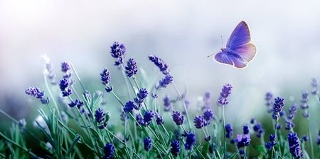 Blossoming Lavender and flying butterfly in nature. 版權商用圖片 - 133782712
