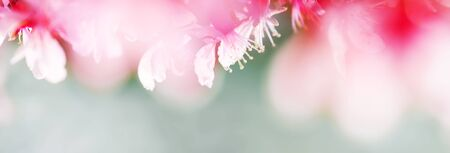 Spring abstract background of Blossoming pink almond flowers. Soft focus, shallow DOF. Wide spring web banner.