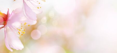 Spring abstract background of Blossoming pink almond flowers close-up. Soft focus, shallow DOF. Imagens