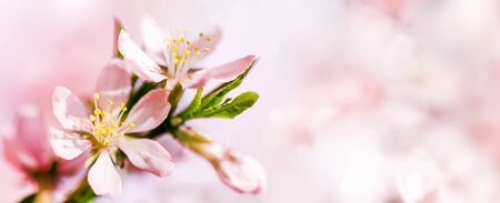 Spring pink abstract background of Blooming almond flowers close-up. Copy space