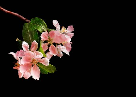 Blooming pink apple tree branch on black background. Copy space Imagens