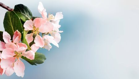Blooming pink apple tree branches at springtime. Copy space Imagens